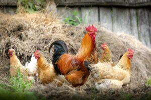 Aves de corral fuente vitaminas K